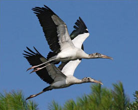 ig48_amz_birds_wood_stork_09